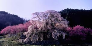 又兵衛桜の素材 [FYI00131525]