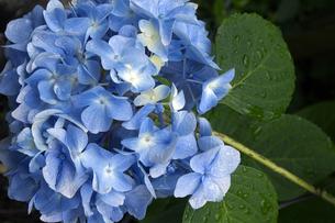 紫陽花(1)の素材 [FYI00131593]