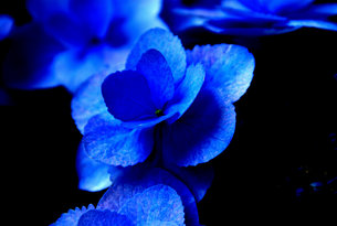 浮かび上がる紫陽花の写真素材 [FYI00131611]