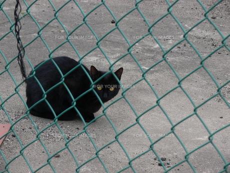黒猫の写真素材 [FYI00131675]