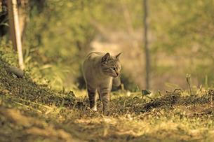 黄昏の猫の写真素材 [FYI00131735]