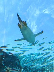 Flying Penguinの写真素材 [FYI00131737]