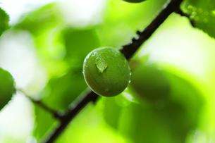 梅の実の写真素材 [FYI00131741]