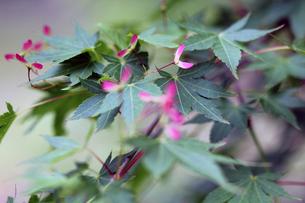 楓の実の写真素材 [FYI00131752]