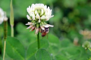 蜜蜂の写真素材 [FYI00131753]