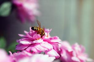 薔薇とハチの写真素材 [FYI00131768]