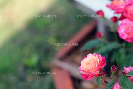 薔薇の素材 [FYI00131777]