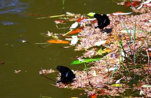 池に落ちた花と蝶々の写真素材 [FYI00131824]