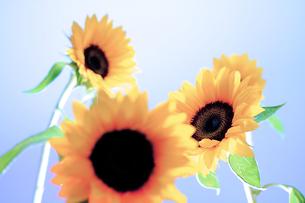 向日葵の写真素材 [FYI00131828]