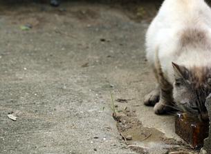 水を飲むネコの写真素材 [FYI00131833]