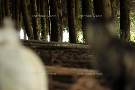 杉林の猫の素材 [FYI00131834]