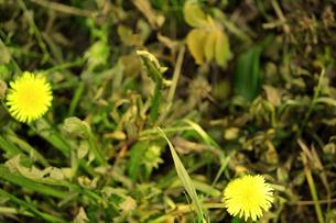 除草剤には負けないタンポポの写真素材 [FYI00131840]