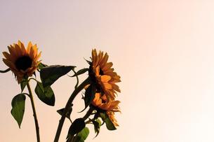 夕暮れのヒマワリの写真素材 [FYI00131845]