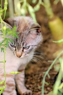 大根畑の迷路で遊ぶネコの写真素材 [FYI00131852]