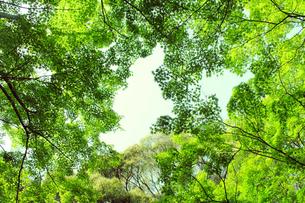 楓の林の写真素材 [FYI00131857]