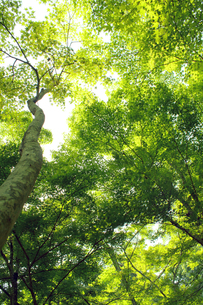 楓の林の写真素材 [FYI00131859]