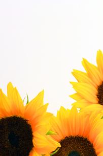 向日葵の写真素材 [FYI00131872]