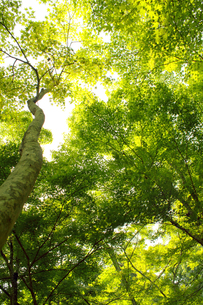 楓の林の写真素材 [FYI00131873]