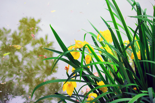 花菖蒲の写真素材 [FYI00131883]