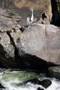 アオサギと激流の写真素材 [FYI00131904]