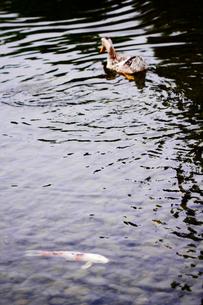 鴨から逃げる錦鯉の素材 [FYI00132014]