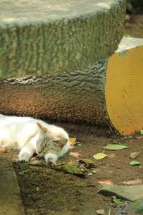 暑い日の野良猫の写真素材 [FYI00132203]