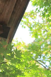 軒下に張り出てきたカエデの写真素材 [FYI00132286]