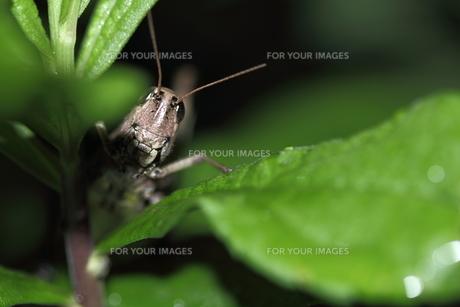 キリギリスの写真素材 [FYI00132329]