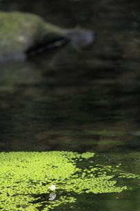 オオカナダモ(アナカリス)の花の写真素材 [FYI00132435]