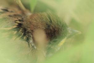 スズメの雛の写真素材 [FYI00132440]