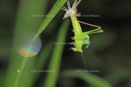 キリギリスの脱皮の写真素材 [FYI00132486]