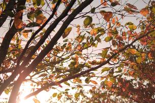 夕日に染まる黄葉の素材 [FYI00132516]