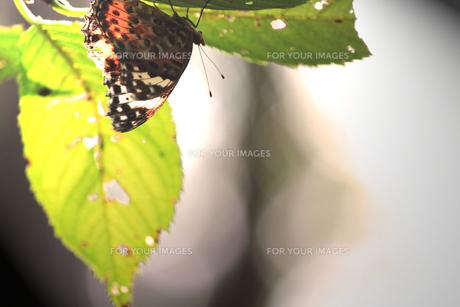 落葉前の葉っぱに隠れる蝶の素材 [FYI00132556]