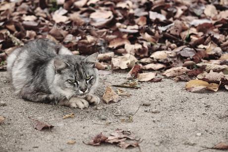 野良猫の素材 [FYI00132559]