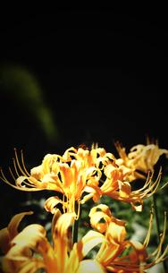 黄色い彼岸花の素材 [FYI00132592]