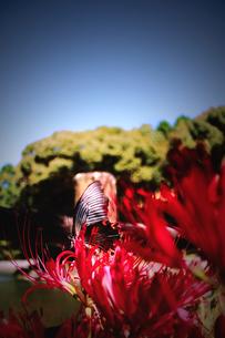 アゲハチョウの写真素材 [FYI00132593]