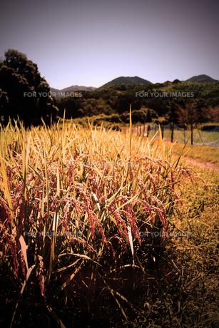 実りの秋の素材 [FYI00132600]