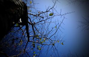 落葉した桜の木の素材 [FYI00132605]