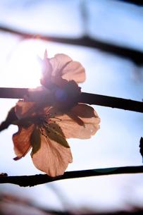 季節外れの桜の素材 [FYI00132654]