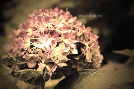 秋真っ只中に咲くアジサイの素材 [FYI00132657]
