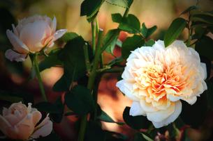 バラ・・・イングリッシュ・ガーデン(薄い黄色のバラ)の素材 [FYI00132698]