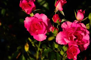 バラ・・・オールド・ポート(赤いバラ)の素材 [FYI00132701]