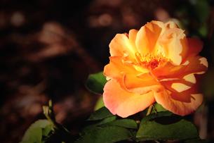 スヴニール・ド・アンネ・フランク・・・オレンジ色の薔薇の素材 [FYI00132706]