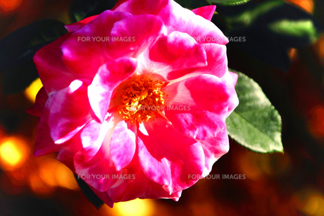 プリンセス・ド・モナコ・・・赤と白の薔薇の素材 [FYI00132715]