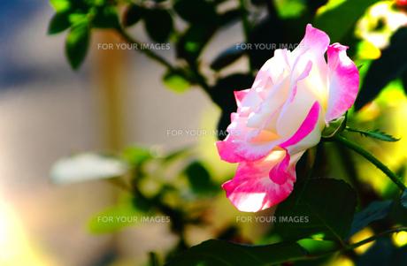 デスティニー・・・白地にピンクのボーダーの薔薇の素材 [FYI00132717]