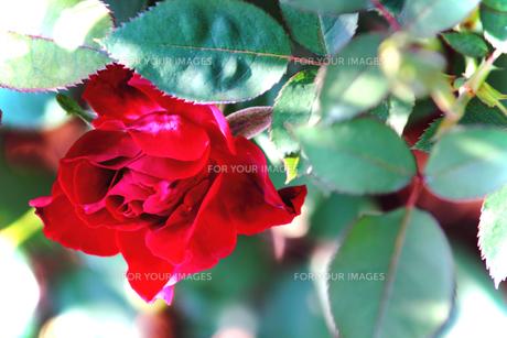 バラ・・・オマージュ・ア・バルバラ(赤いバラ)の素材 [FYI00132725]