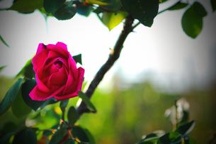 バラ・・・マダム・ドゥ・リオ(赤いバラ)の写真素材 [FYI00132736]