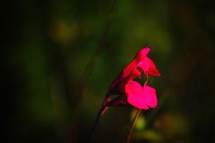 赤い花の素材 [FYI00132744]