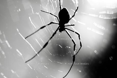 蜘蛛の写真素材 [FYI00132747]