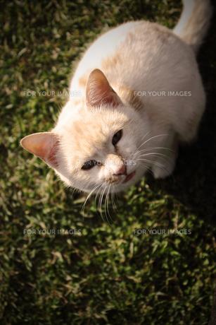 おねだり野良猫の素材 [FYI00132760]